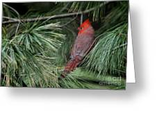 Red Cardinal In Green Pine Greeting Card
