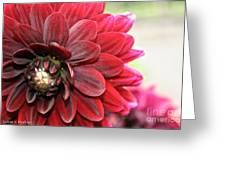 Red Carpet Dahlia Greeting Card