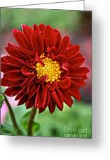 Red Dahlia Unfurled Greeting Card