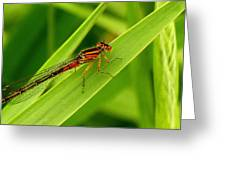 Red Damsel Fly Greeting Card