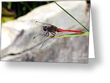 Red Dragonfly 2 Greeting Card