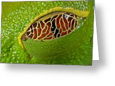 Red Eyed Tree Frog Eyelid Costa Rica Greeting Card