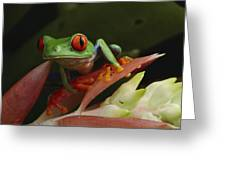 Red-eyed Tree Frog In Costa Rica Greeting Card