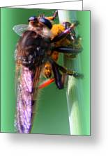 Red-footed Cannibal Fly With His Prey Greeting Card by Maureen  McDonald
