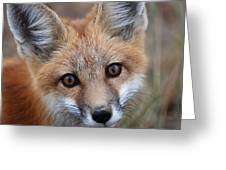 Red Fox 352 Greeting Card