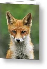 Red Fox Vulpes Vulpes, Hoge Veluwe Greeting Card