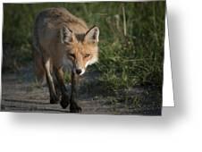 Red Fox Walking Greeting Card