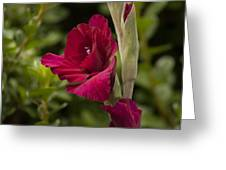 Red Gladiola Greeting Card