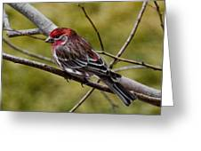 Red Head Black Tail Greeting Card