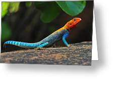 Red-headed Agama Greeting Card