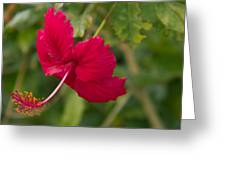 Red Hibiscus Greeting Card