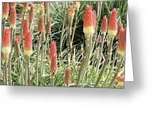 Red Hot Poker (kniphofia 'atlanta') Greeting Card