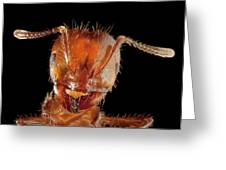 Red Imported Fire Ant Solenopsis Greeting Card