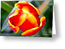 Red In A Tulip Greeting Card