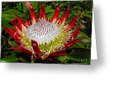 Red King Protea Greeting Card