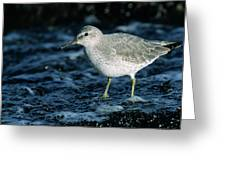 Red Knot Calidris Canutus In Winter Greeting Card