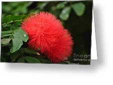 Red Koosh Ball Flowers Greeting Card