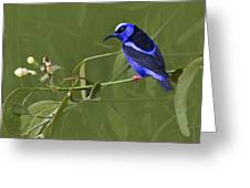 Red-legged Honeycreeper - Cyanerpes Cyaneus Greeting Card