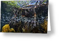 Red Mangrove Rhizophora Mangle Aerial Greeting Card