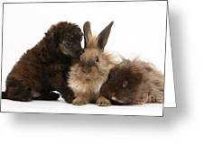 Red Merle Toy Poodle Pup, Guinea Pig Greeting Card