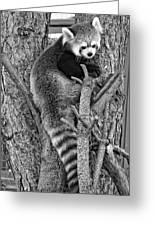 Red Panda 2 Monochrome Greeting Card