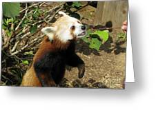 Red Panda Feeding Time Greeting Card