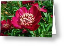 Red Peony Flowers Series 2 Greeting Card