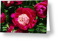Red Peony Flowers Series 3 Greeting Card