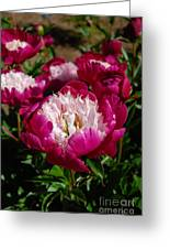 Red Peony Flowers Series 4 Greeting Card