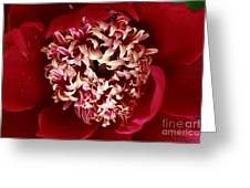Red Peony Flowers Series 5 Greeting Card
