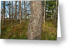 Red Pine Forest Greeting Card