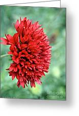 Red Plume Greeting Card