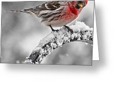 Red Poll - Cold But Hungry Greeting Card