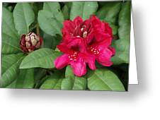 Red Rhododendron Blossom Greeting Card