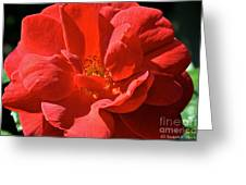 Red Rose Summer Greeting Card