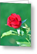 Red Rose With Star-shaped Collar Greeting Card