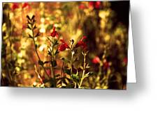 Red Salvia Greeting Card