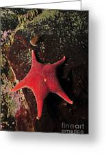 Red Sea Star And Limpet On Brown Rock Greeting Card
