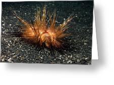 Red Sea Urchin (astropyga Radiata) Greeting Card