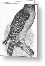 Red-shouldered Hawk, 1890 Greeting Card