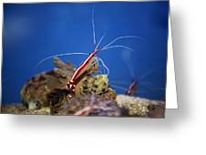 Red Shrimp Greeting Card