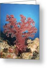 Red Soft Coral,  Australia Greeting Card