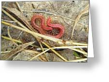Red Soil Centipede - Strigamia Greeting Card