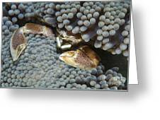Red-spotted Porcelain Crab Hiding Greeting Card