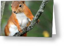 Red Squirrel Portrait Greeting Card by John Kelly