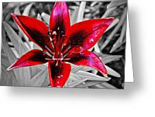 Red Star Lily Greeting Card