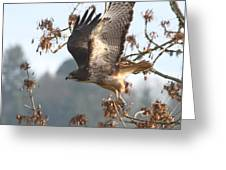 Red-tail Hawk Greeting Card