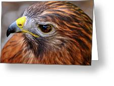 Red-tailed Hawk Close Up Greeting Card