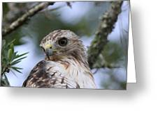 Red-tailed Hawk Has Superior Vision Greeting Card