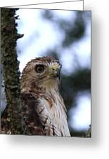 Red-tailed Hawk - Hawkeye Greeting Card